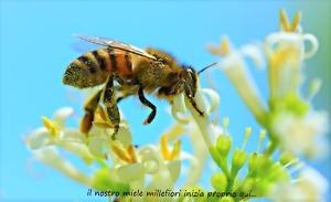 ape-mentre-impollina-un-fiore
